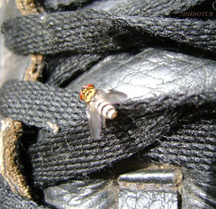Varejeira (DHDOTUR) Tags: preto mosca tnis varejeira cadaro