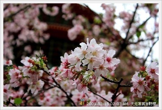 09.03.15 天元宮賞吉野櫻 (1)