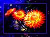 Wild Flowers - Xtreme (CGiMagery) Tags: orange yellow photoshop nikon sydney australia wildflowers visualart proudshopper theperfectphotographer clydeessex awardtree awesomeblossoms nikons210