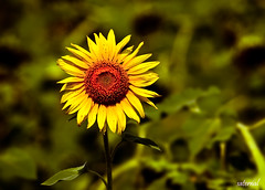 Looking for directions ?! (saternal) Tags: sun flower sunflower karma dandeli aplusphoto ultimateshot