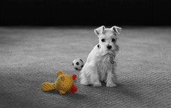 Gabby and Her Imaginary Duck (casoninabox) Tags: she family bw orange dog white black color cute eye oklahoma dogs girl yellow photoshop canon ball hair puppy toy carpet eos duck eyes soft sad little soccer small schnauzer mini norman explore tiny desaturation cuteness ok 90mm minature xti