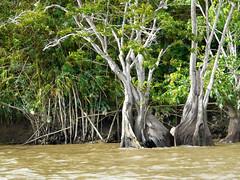 Suriname (Astrid Sibbes) Tags: tree water river bomen groen boom tropical wal suriname kust rivier tropen tropisch treemendous