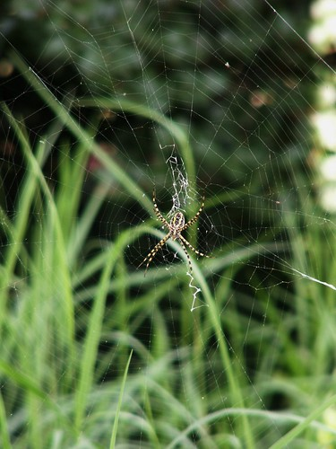 Female Banded Argiope with Web