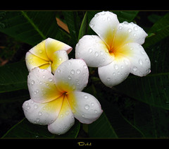 Flowers - The Plumeria Defel (mad plumerian) Tags: flowers canon hawaii florida plumeria exotic hawaiian frangipani rare tropicals tropicalflowers a620 hybrids rareplant landscapephotography rareplants exoticflowers flowersinbloom rareflowers rareplantsflowers hybridflowers