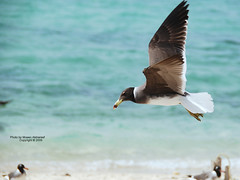 white eyed gull طائر النورس (CLICK GROUP معين الشريف Moeen) Tags: nikon saudiarabia معين jazan gizan السعودية نيكون الشريف المملكةالعربيةالسعودية جيزان d40x جازان الهويدي