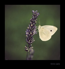 (litteronly) Tags: butterfly sony lavender litter only alpha 700 brimstone lavendel zitronenfalter a700 litteronly