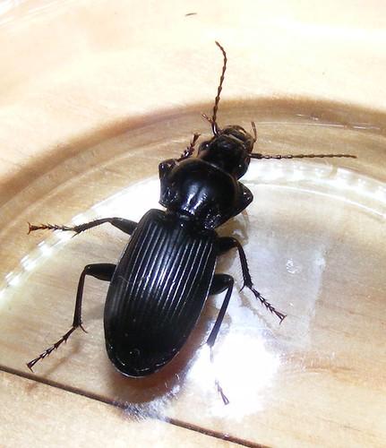 Pterostichus morphnosoma melanarius nebria brevicollis le monde des ins - Insecte maison humidite ...