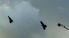 Crows at play