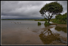 KENFIG POOL, WALES. (IMAGES OF WALES.... (TIMWOOD)) Tags: reflection tree sony ducks alpha sans bridgend hedgerow pyle sker a700 kenfig kenfignaturereserve kenfigpool