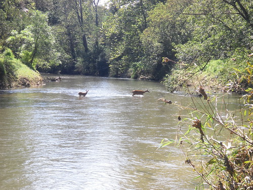 Deer Crossing On The Gunpowder River