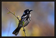 New Holland Honeyeater, Jerrabomberra Wetlands, 5.9.09 (Callocephalon Photography) Tags: colour bird branch background flash smooth australia honeyeater flowering canberra act newhollandhoneyeater phylidonyrisnovaehollandiae newholland meliphagidae passeriforme specanimal jerrabomberrawetlands sigma50500mmf463 canoneos40d canonspeedlite580exii vosplusbellesphotos fuscous phlydonyrisnovaehollandiae