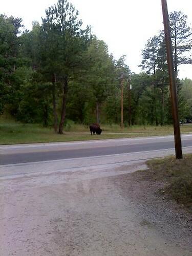 I'm a bison.