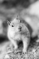 Little Guy (Thomas Hawk) Tags: bw nature animal squirrel 10 fav20 yosemite fav10 natureshand gettyartistpicksoct09