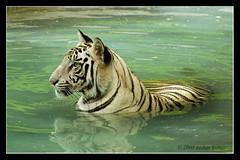 Looks white to me... (TusharKumar) Tags: tiger whitetiger bengaltiger panthera pantheratigristigris nikond80 royalbengaltiger pantheratigrisbengalensis