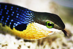 Boomslang - Dispholidus typus (Tree Snake) (Africa Dave) Tags: africa blue brown green yellow eyes reptile snake south greeneyes juvenile treesnake boomslang typhus flickrsbest dispholidus nationalgeographicwildlife dispholidustyphus gettyimagesmeandafrica1