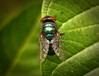 Mosca (zeluiz.guerreiro) Tags: macro verde animal mosquito inseto folha mosca credo varejeira