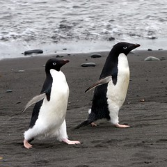 March of the Penguins (Heaven`s Gate (John)) Tags: cruise white snow black bird ice beach expedition station fun penguins rocks antarctica pebbles humour discovery bornfree marchofthepenguins adelie drakepassage 50faves mvdiscovery 10faves 5photosaday 25faves specanimal johndalkin heavensgatejohn kinggeorgeisland arctowski