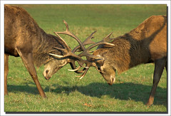 Red Stag Deer Locking Horns