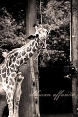 zoo melaka_23 (ikhwanphotography) Tags: king malacca maher kamil haziq bapak ikhwan zoomelaka