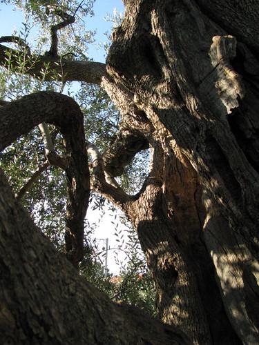 Old Olive Tree (9)