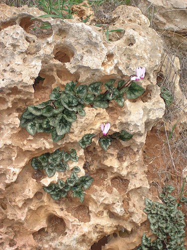 Cyclamens growing from limestone rock