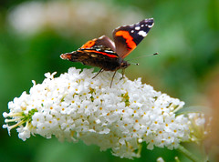 Happy Landings at Hidcote Manor Garden! (antonychammond) Tags: uk england orange white flower green butterfly britain gloucestershire visualart vanessaatalanta blueribbonwinner hidcotemanorgarden flickraward winnr naturethroughthelens vosplusbellesphotos smallcreatureswilllovethisplace