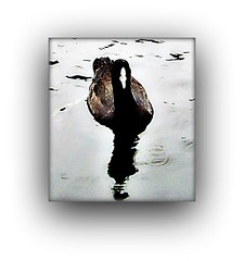 I THINK I HAVE SOLVED THE MYSTERY (craftedfromtheheart) Tags: reflection bird water photoshop australia melbourne victoria mtdandenong lochnessmonster emeraldlake moorhen liquidsilver elements4 craftedfromtheheart verycuriousbird rainohhowweneedrain