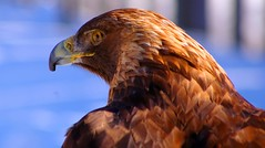 Golden (judo_dad1953) Tags: bird nature golden eagle pentax raptor ecomuseum