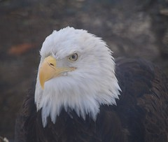 eagle eye (ktelqueen) Tags: calgary bird eye closeup zoo eagle baldeagle olympus headshot alberta calgaryzoo yellowbeak ktelqueen mariapowellphotography