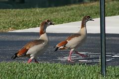 Two Female Egyptian Geese (mauricholas/ Maureen Leong-Kee) Tags: goslings southflorida egyptiangoose babygeese bocaratonfl egyptiangeesechicks