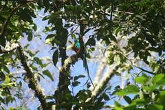 A quetzal