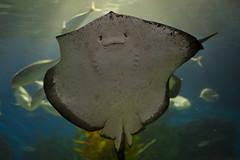 Smiley,.. (D3 Photography) Tags: city food plants white fish water mouth happy grey aquarium eyes nikon underwater stingray sigma australia melbourne spots spotty smiley waving speedlight d3 50mmf14 mantaray gills