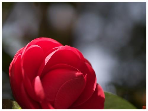 Camellia 090317 #01