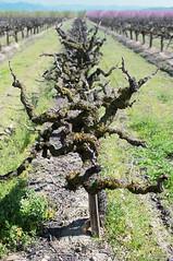 Vineyard 17N.SEQ (Kurt Preissler) Tags: california trees film fruit vineyard wine images farmland grapes scanned slides making wein sanjoaquinvalley canoneos3 weinberge californiacentralvalley kurtpreissler preisslermediaservices fujivelvia50slidefilm