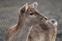 Damhirsch im Dierenrijk Europa in Nuenen (Ulli J.) Tags: zoo eindhoven fallowdeer damhirsch niederlande daim nuenen dierenrijkeuropa