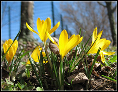 Crocus brings me a sunny Way Home, Germany (Batikart) Tags: park blue winter light sky plant flower color colour macro