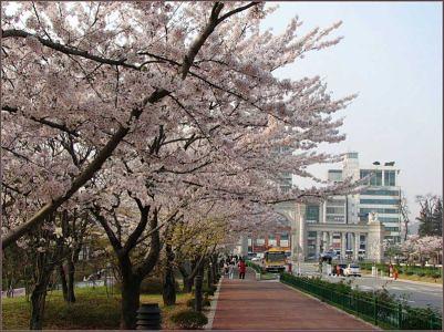 Сакура в городе