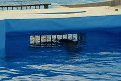 Il est faux de croire que les tours d'adresse et d'agilité sont le prolongement du comportement naturel des dauphins: (CaptiveDolphins-vs-WildDolphins) Tags: malta dolphins shame delphinarium malte mediteraneo maltagozo marinelands mediterraneomarinepark captivedolphins themediteranneomarineparkinmaltaisashame unehonte unaverguenza dauphinscaptifs themediteranneomarineparkinsliemathemediteranneomarineparkinmalta themediteranneomarinepark dauphinsdelfines delfinescautivos