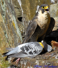 ADULT FEMALE PEREGRINE FALCON AND PIGION (spw6156) Tags: copyright female lens hand adult steve falcon cropped mm held 700 nationaltrust raptors waterhouse peregrine pigion plymbridge cannquarry globalbirdtrekkers spw6156 adultfemaleperegrinefalconandpigion700mmlenshandheldreworked stevewaterhouse plymperegrineproject plymbridgeperegrinefalcons copyrightstevewaterhouse