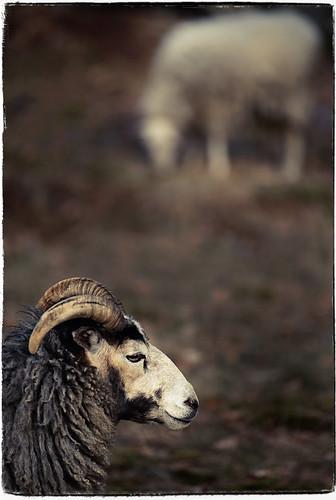 Sheeps (_DSC7830)
