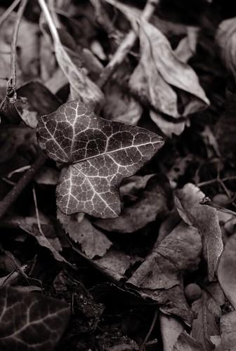 sepia ivy