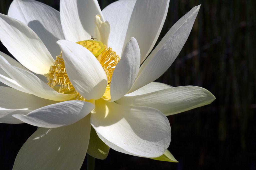 American yellow lotus