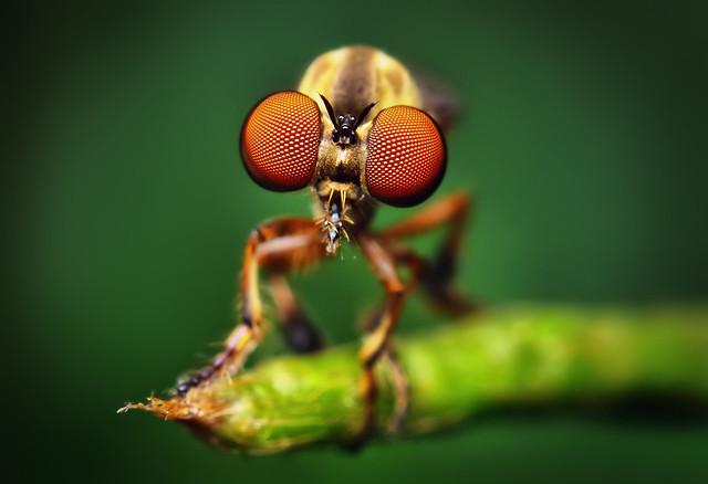 Robber Fly - (Holcocephala fusca)