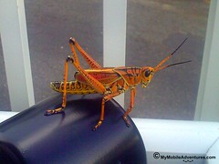 Lubber grasshopper on Sanibel Island