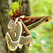 Columbia Silk Moth with Damaged Wing
