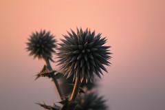 Morning colors (Theophilos) Tags: morning flower nature colors greece 1001nights λουλούδι ελλάδα φύση πρωινό χρώματα