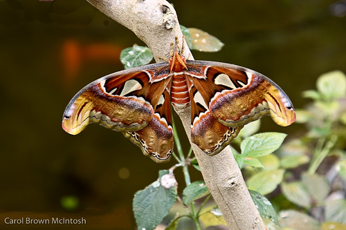 Largest moth