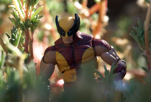 Wolverine in the jungle