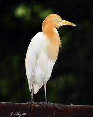 Cattle Egret (Marge2009) Tags: world nature beautiful wonderful hall singapore cattle 5 fame picture week egret admin the jbp flickrnature goldenmix of abigfave wonderfulworldmix marge2009 mallmixstaraward platinumpeaceaward
