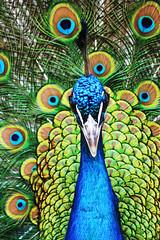 blue male green bird closeup groen blauw feathers free peacock cc creativecommons vogel haan mannetje pauw pavocristatus naturesfinest veren freetouse fazantvogel bluepeacock hoender hoendervogel siervogel